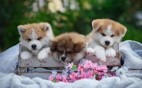 Картинка цветы, коробка, щенки, одеяло