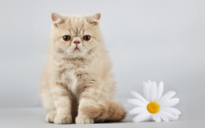 Картинка кот, взгляд, ромашка, рыжий
