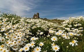 Картинка лето, цветы, ромашки