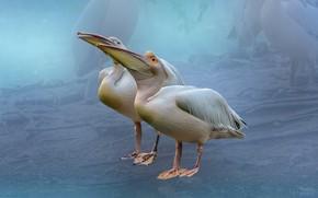Обои птицы, фон, пеликаны