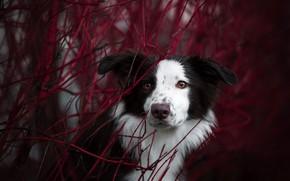 Картинка осень, взгляд, морда, ветки, портрет, собака, Бордер-колли