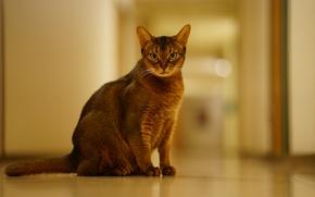 Картинка кошка, взгляд, фон, абиссинская