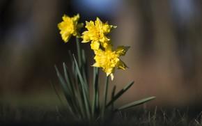 Картинка цветок, фон, нарцисс