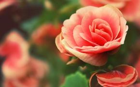 Картинка роза, лепестки, бутон розы