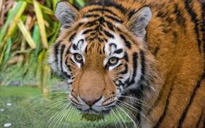 Картинка взгляд, морда, Амурский тигр