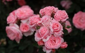 Картинка макро, розы, лепестки, розовые, бутоны, боке