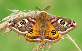 Обои макро, фон, Павлиноглазка малая, колос, бабочка