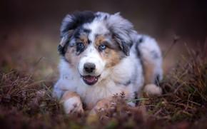 Обои трава, морда, фон, портрет, собака, щенок, австралийская овчарка, аусси, разноглазый