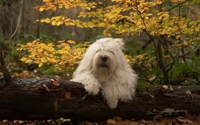 Картинка осень, лес, собака, бревно, Бобтейл, Староанглийская овчарка