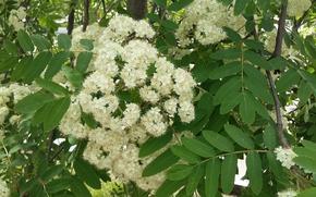 Картинка зелень, листья, ветки, лепестки, тычинки, белые цветы, рябина в цвету
