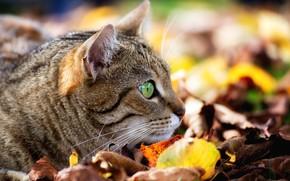 Обои кошка, боке, мордочка, наблюдение, кот, листья