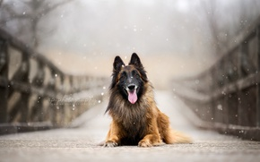 Картинка взгляд, мост, собака