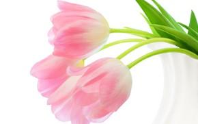 Картинка тюльпаны, белый фон, розовые, бутоны