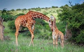 Картинка семья, жираф, Африка, Кения, Лева Уайлдлайф Консерванси