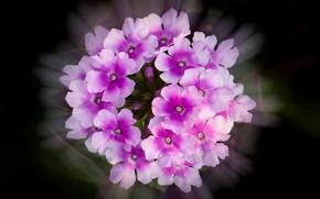 Картинка цветы, фон, лепестки, соцветие