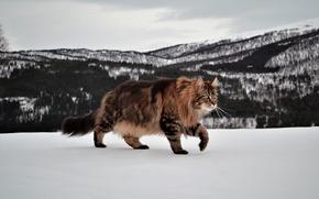 Обои зима, шерсть, кошка