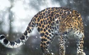 Картинка снег, леопард, хвост, дикая кошка