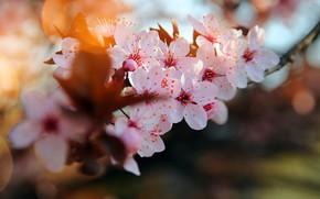 Картинка ветка, цветение вишни, размытость боке