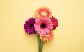 Картинка цветы, colorful, герберы, pink, flowers, spring, gerbera
