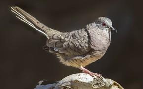Картинка птица, хвост, инкская горлица