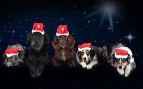Картинка Christmas, 2018, собаки, Новый год, спаниэль, колпак, winter