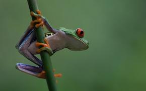 Картинка природа, земноводное, древесная лягушка, красноглазая квакша