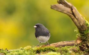 Картинка природа, птица, клюв, серый юнко
