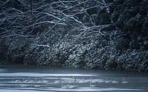 Картинка зима, озеро, лебеди