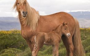 Картинка лошадь, большая, грива, окрас, жеребёнок