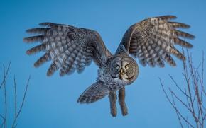 Картинка сова, птица, полёт, Бородатая неясыть