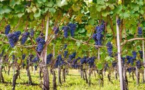 Картинка Italy, wine, grapes, Piemonte, vineyard, red wine, Barolo, Denominazione di Origine Controllata e Garantita, DOCG, …