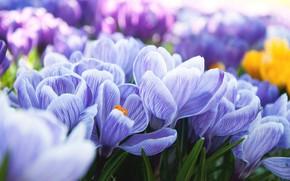 Обои цветение, весна, кустики, крокусы