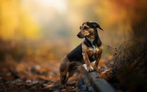 Картинка осень, рельсы, собака, боке, Такса