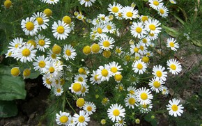 Картинка цветы, ромашки, Mamala ©, полевые ромашки