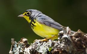 Картинка природа, птица, клюв, cardellina canadensis