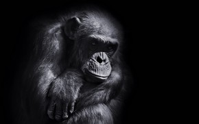 Картинка взгляд, фон, обезьяна
