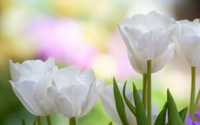 Картинка макро, фон, лепестки, тюльпаны, бутоны, белые тюльпаны