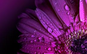 Обои капли, цветок, лепестки, гербера