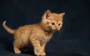 Обои котенок, фон, малыш, рыжий, рыжий котёнок