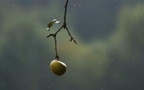 Обои природа, ветка, яблоко