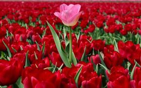 Обои поле, красные тюльпаны, выскочка, Нидерланды, тюльпаны, розовый тюльпан, много, плантация