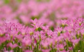 Картинка розовые, цветочки, много, боке, Зефирантес