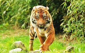 Картинка взгляд, фон, Суматранский тигр