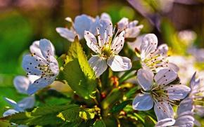 Картинка цветок, листья, весна, лепестки, цветение, черешня