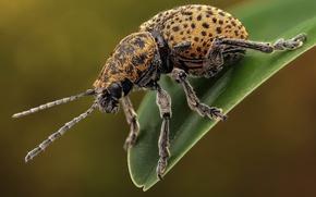 Картинка макро, жук, насекомое, листоед