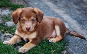 Картинка рыжий, щенок, собачка
