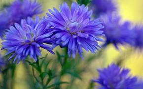 Картинка осень, макро, цветы, природа, красота, растения, октябрь, синий цвет, флора, многолетники