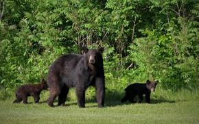 Картинка лапы, шерсть, медведи, большой, мишка, медвежата