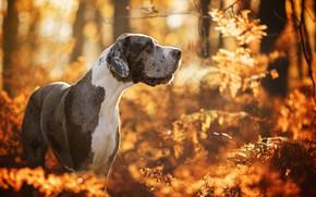Картинка осень, лес, собака, боке, Немецкий дог