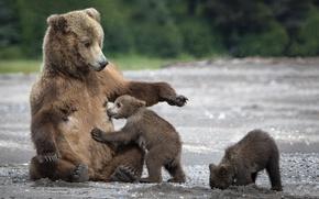 Обои песок, медведи, сиська, медведица, медвежата, мама, мишки